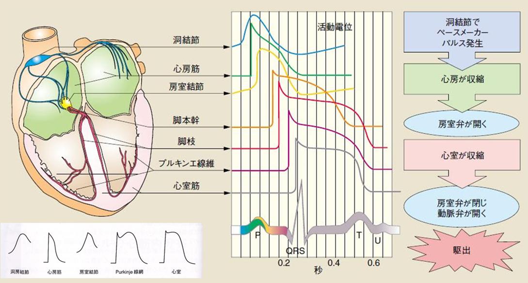 活動電位と心電図